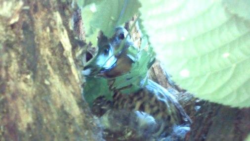 pīle perē kokā