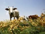 Piena krīzes dēļ saimnieki sāk izpārdot ganāmpulkus
