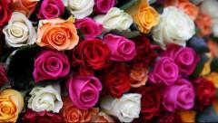 Zinātnieki vēlas atgūt selekcijas gaitā zaudēto rožu aromātu