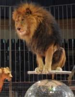 Cirkā dresētājs, kura lauvas nogalināja cilvēku