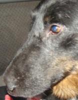 Suns bez degungala, astes un patvēruma