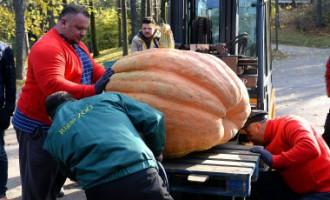 Latvijas smagākais ķirbis sver 232 kilogramus