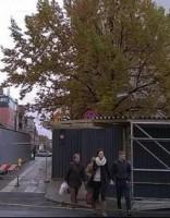Rīgas centrā pazudis ozols