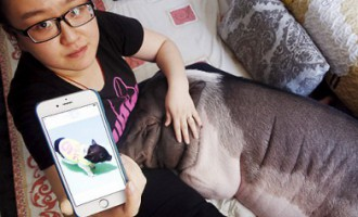 Sieviete dzīvoklī mitinās kopā ar savu mīluli - 85 kg smagu cūku