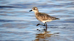 Ornitologi satraukti par dabas daudzveidības mazināšanos