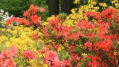 LU Botāniskā dārza Puķu ballē būs aplūkojama miniatūro bonsai kociņu ekspozīcija