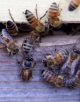 Vīrieti sadzeļ automašīnas kabīnē ielidojis bišu spiets