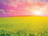 Saulains, uzturvielām bagāts un brīvs no ĢMO – Latvijā audzēts rapsis
