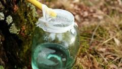 Latvijā sācies kļavu sulu tecēšanas laiks