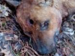 Vienkārši nošauts suns - Kadagā šāda nežēlība nav retums