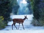 Foto: Savvaļas dzīvnieki, kuri mitinās Černobiļas katastrofas zonā