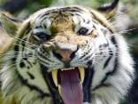 Zooloģiskajā dārzā Lielbritānijā tīģeris saplosa kopēju