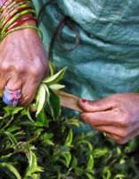 Tējas vācēju ikdiena Nepālā