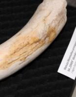 Latvijas Dabas muzejs dāvanā saņem mamuta ilkni