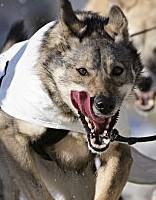 Pērn par suņu uzbrukumiem cilvēkiem sākti 78 kriminālprocesi