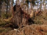 Piejūras meža cirsmas postaža