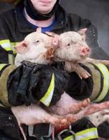 Anneniekos ugunsgrēkā gājuši bojā 39 liellopi