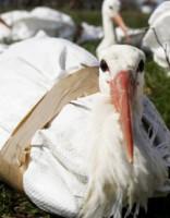 Ekskluzīvajā Jūrmalā nav vietas slimiem putniem!