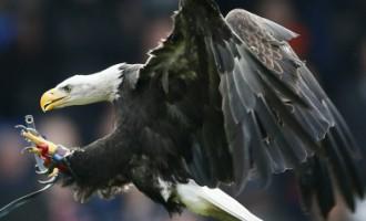 Beļģijas policija izmanto ērgļus, lai neitralizētu NATO samita tuvumā manītus bezpilota lidaparātus