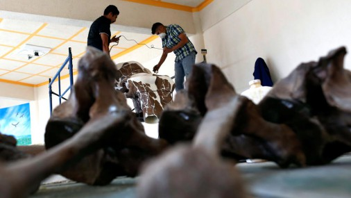 Meksikā restaurē seno cilvēku sadalītu mamutu