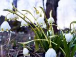Zied sniegpulkstenītes