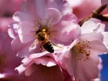 В мире начали цвести вишни