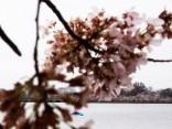 Pavasaris Vašingtonā: uzzied pirmie ķirši