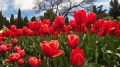 Красочно: цветение тюльпанов по всему миру