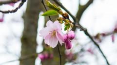 В парке Победы начинает зацветать сакура