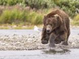 Izsalcis grizlilācis metas ūdenī pēc medījuma