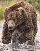 Foto. Kā izsalcis grizlilācis dodas medībās - metas ūdenī pēc medījuma