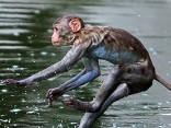 Pērtiķi glābjas no karstuma Indijā