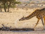 Борьба жирафа с буйволовыми скворцами