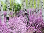 Pasakaini ziedošas mežmalas Krievijā