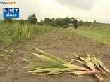 Tveice iznīcina gladiolu laukus