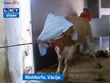 Notver noklīdušo Bavārijas govi