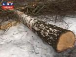 P. Stradiņa Klīnikas jaunā korpusa dēļ izcērt 200 kokus