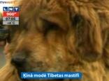 Ķīnā modē Tibetas mastifi