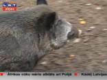 Mežacūkai Polijā konstatē Āfrikas cūku mēra vīrusu