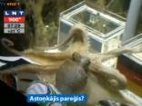 Astoņkājis pareģo Pasaules futbola čempionāta uzvarētāju