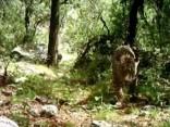 Vienīgais zināmais savvaļas jaguārs ASV