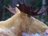 Skaistā daba: rets baltais alnis