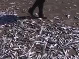Čīlē izskalotas vismaz piecas tonnas beigtu sardīņu