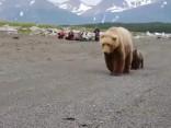Noskaties: aci pret aci ar grizli lāču ģimeni