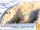 Lācis - bīstamākais Kanādas dzīvnieks