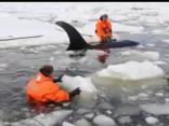 Krievijas austrumos izglābti ledū iestrēguši zobenvaļi