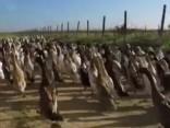 Dienvidāfrikā vīndari kaitēkļus nīdējošo ķimikāliju vietā izvēlējušies pīles