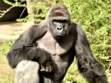 ASV zoodārzā nošauj retas sugas gorillu, lai glābtu mazu zēnu