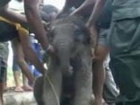 Noskaties: Šrilankā izglābj akā iekritušu zilonēnu
