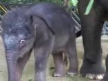 Šādi izskatās nesen piedzimis zilonēns